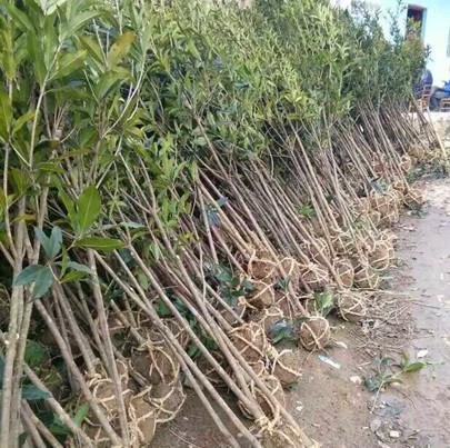 独家研制的根部营养培育技术保证桂花树苗离地成活时间长达7-10天以上